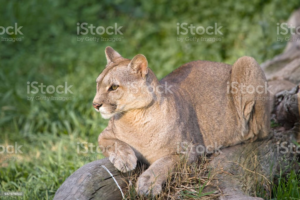 Puma or Cougar in Patagonia  - Puma concolor stock photo