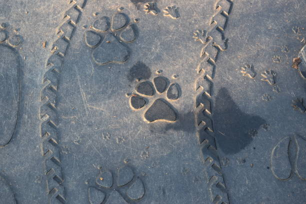 royalty free mountain lion paw print pictures images and stock