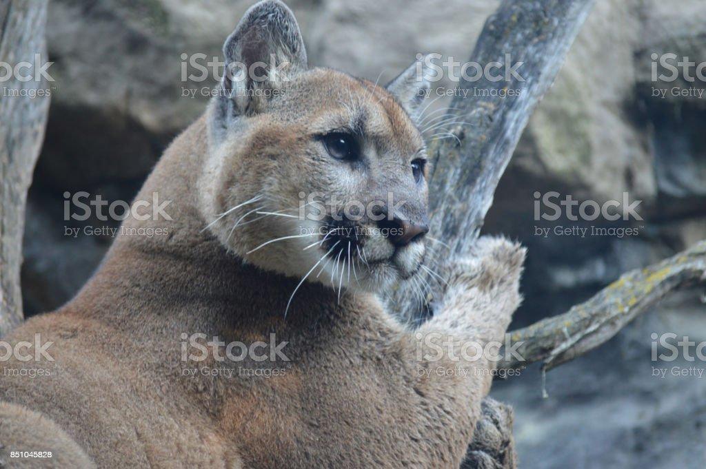 Puma Stockfoto und mehr Bilder von Fotografie iStock