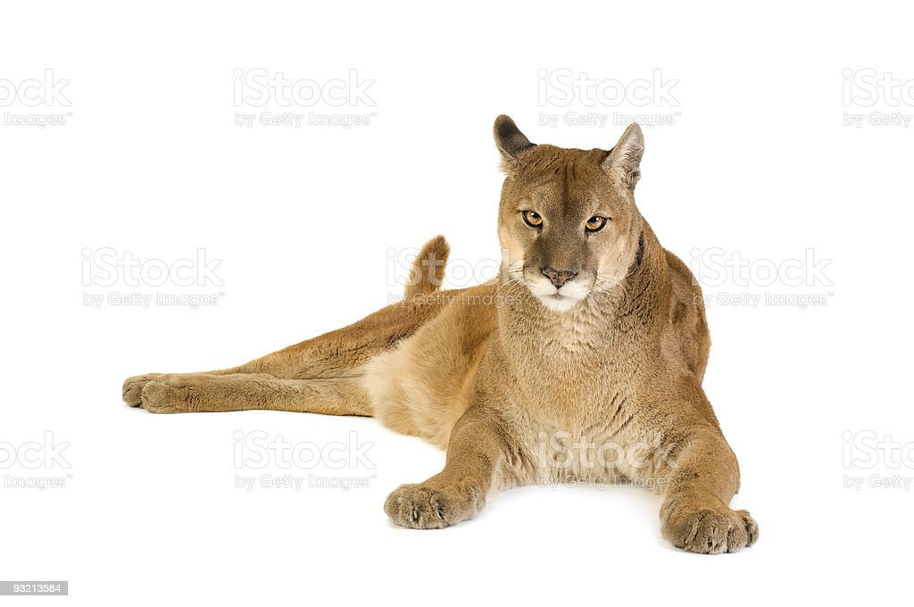 Puma (17 years) royalty-free stock photo