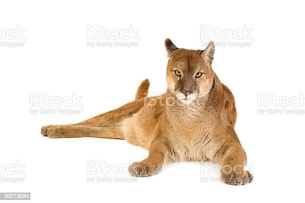Puma picture id93213584?b=1&k=6&m=93213584&s=612x612&h=wlrlnfjvs6ocuhbhziddc jvge2dwm4pdgh6f5wd5y8=