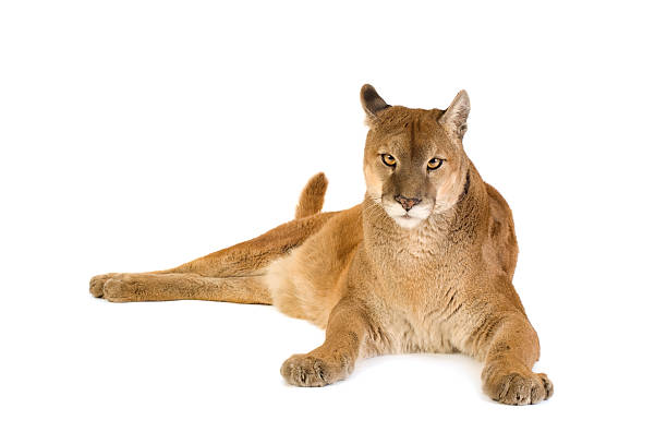puma (17 years) - big cat stock pictures, royalty-free photos & images