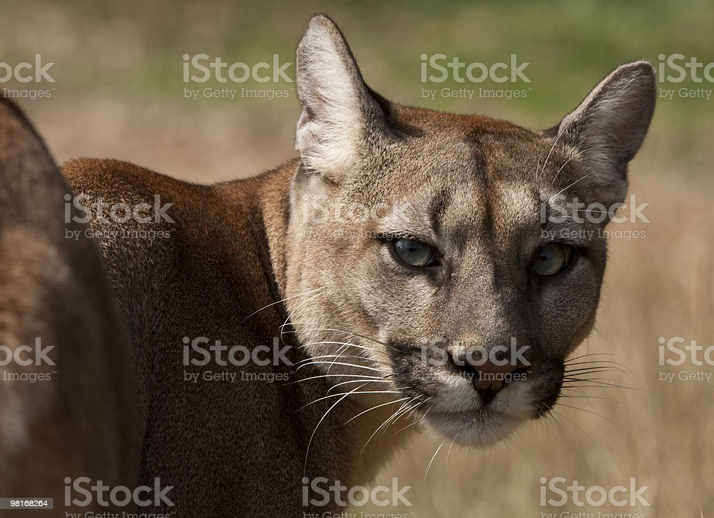 Puma royalty-free stock photo