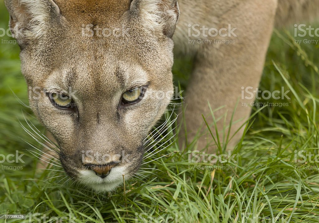 Puma Poised To Attack royalty-free stock photo