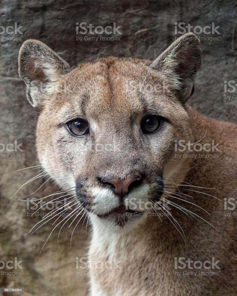 Puma Portrait 1 stock photo