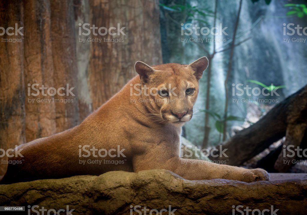 Puma Tiger Stock Photo - Download Image Now - iStock