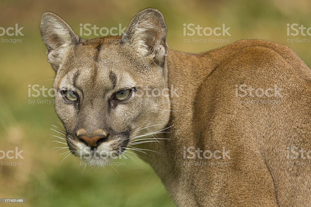 Puma Turns To View royalty-free stock photo