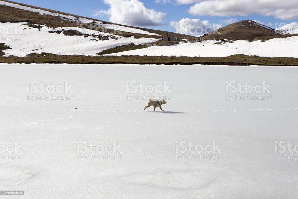 pumi dog walking on frozen lake royalty-free stock photo