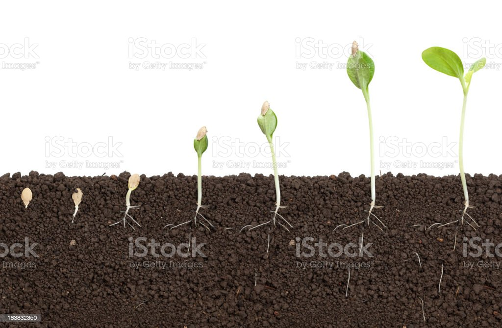 pumkin growing royalty-free stock photo