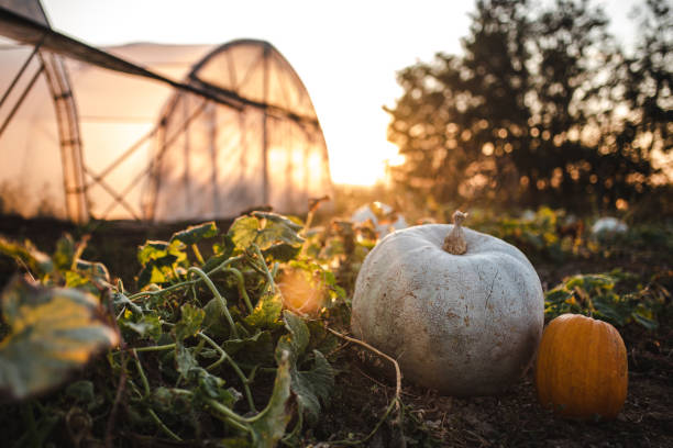 Pumpkin and squash in a dirt at organic farm in sunset stock photo