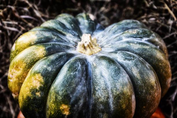 pumpkin dark green ripe vegetable, autumn harvest symbol closeup toned - pumpkin pie стоковые фото и изображения