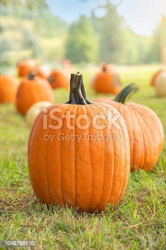 Many pumpkins in the background of a large pumpkin in focus at a pumpkin farm on a beautiful early fall day.