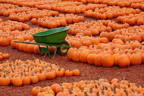 pumpkin farm - kürbis kaufen stock-fotos und bilder