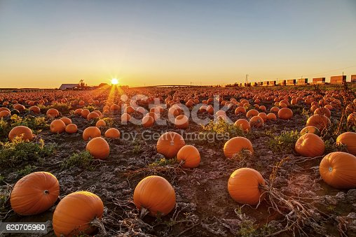 620705960istockphoto Pumpkin field at sunset 620705960