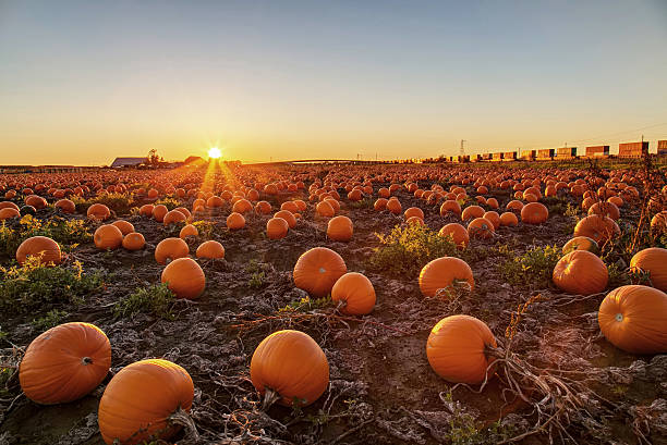 Pumpkin field at sunset stock photo