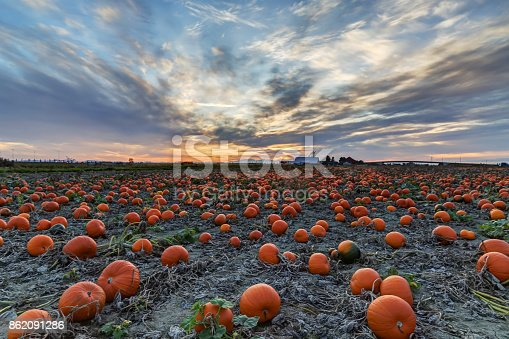 620705960istockphoto Pumpkin field at sunset 862091286