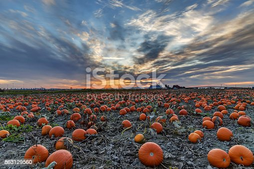 620705960istockphoto Pumpkin field at sunset 863129560