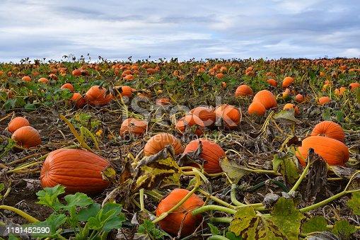 Pumpkin field in October, Morris CT