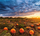 Big pumpkin field in autumn time on sunset time