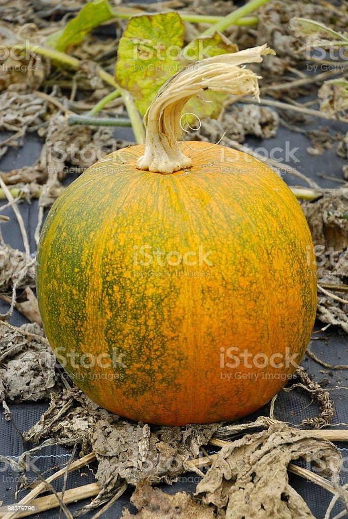 pumpkin field royalty-free stock photo