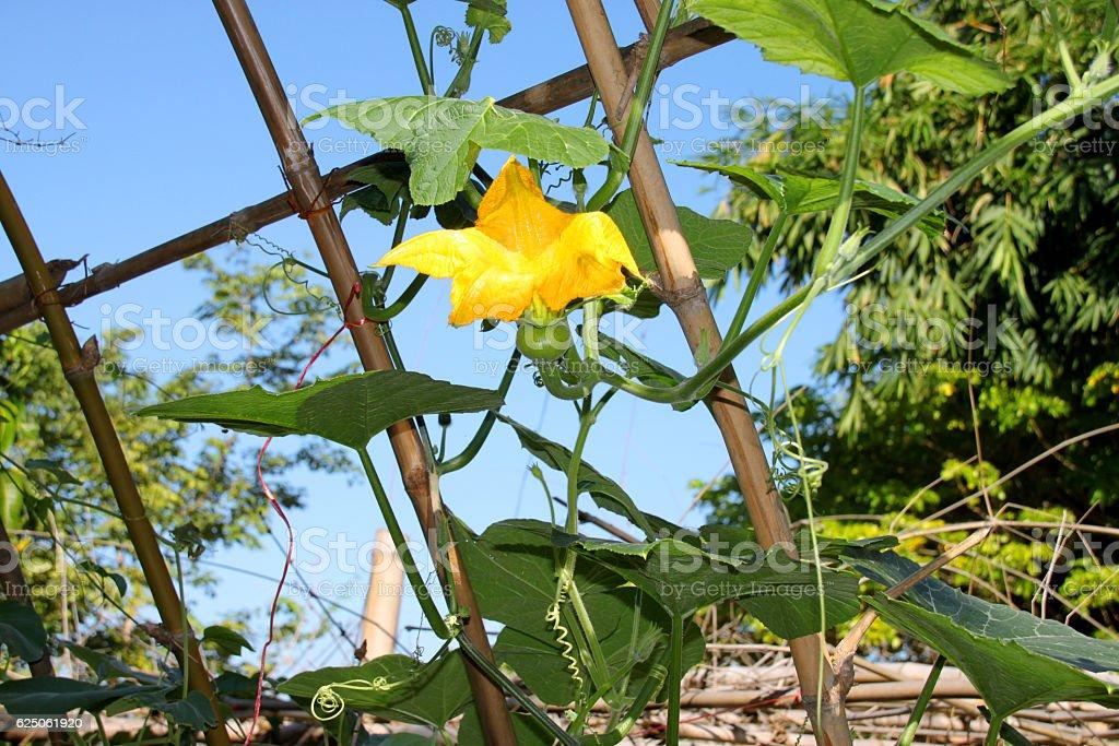 pumpkin flower growing in tropical organic vegetable garden stock photo