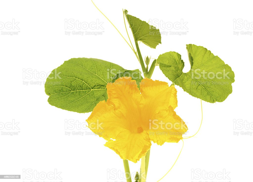 Pumpkin flower on white background royalty-free stock photo