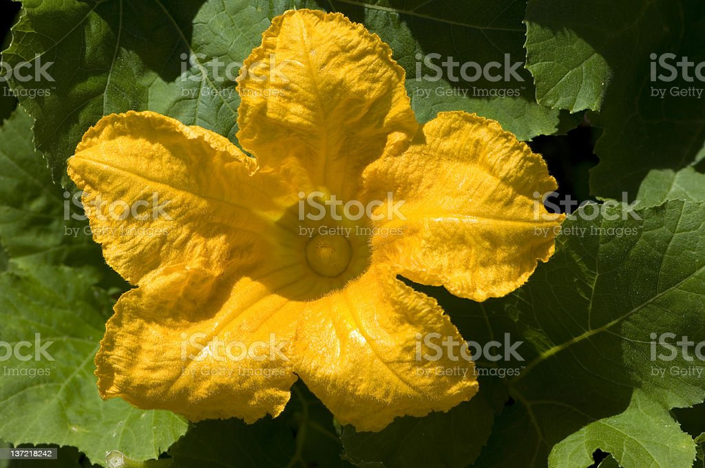 Pumpkin flower royalty-free stock photo