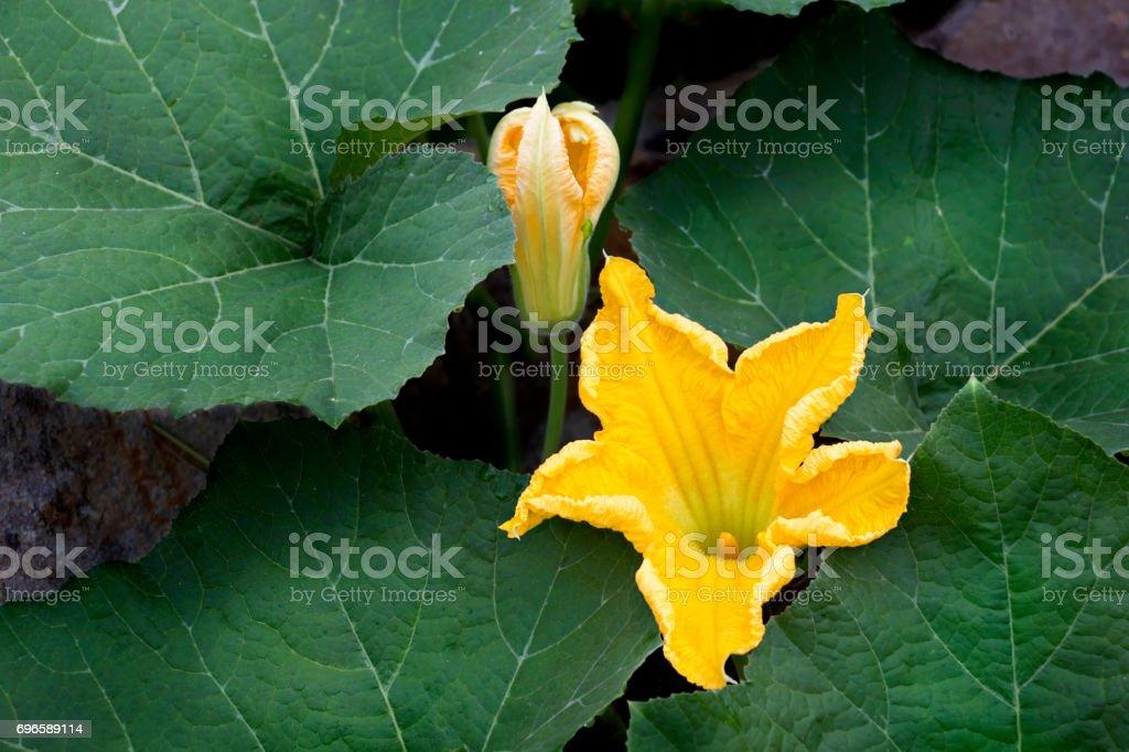 Pumpkin flowers or Cucurbita moschata Duchesne, squash. stock photo