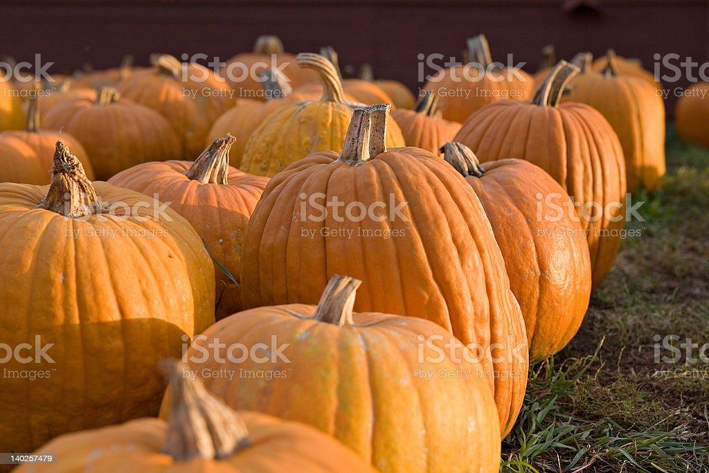 Pumpkin Gathering royalty-free stock photo