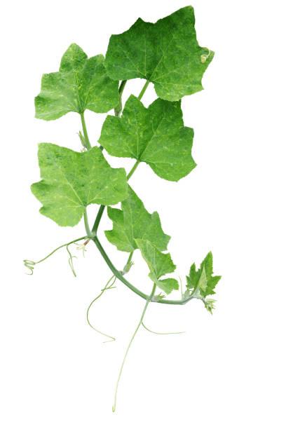 Pumpkin green leaves with hairy vine plant stem and tendrils isolated picture id835886096?b=1&k=6&m=835886096&s=612x612&w=0&h=ggxqmq8lpxmg9q1 py3r28j5nwp8x5vfqslha1nyb9u=