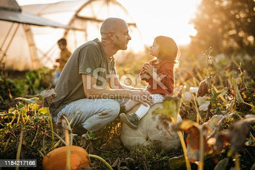 Father and daughter in pumpkin field at autumn harvest in sunset