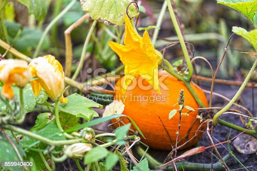An orange pumpkin growing in a vegetable garden.
