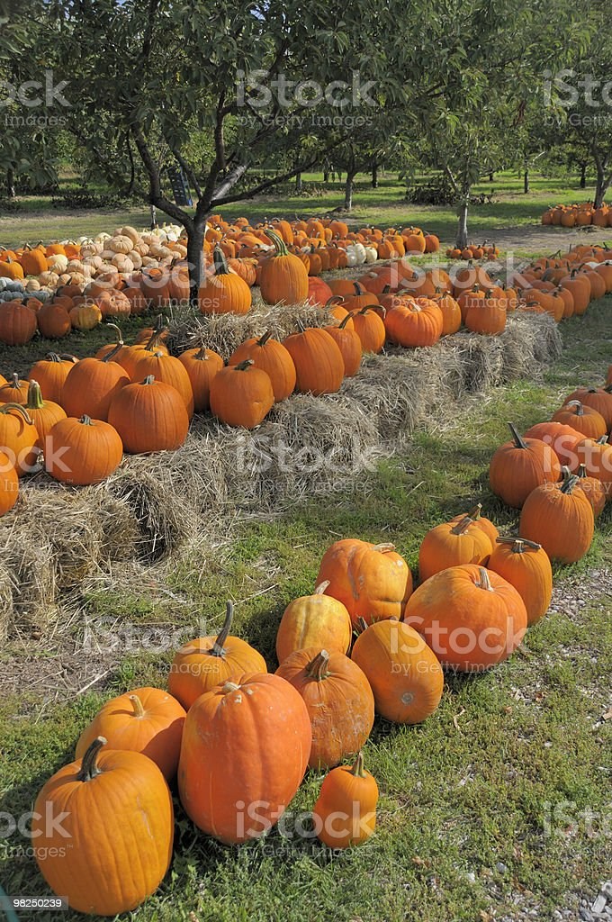 Pumpkin Land royalty-free stock photo