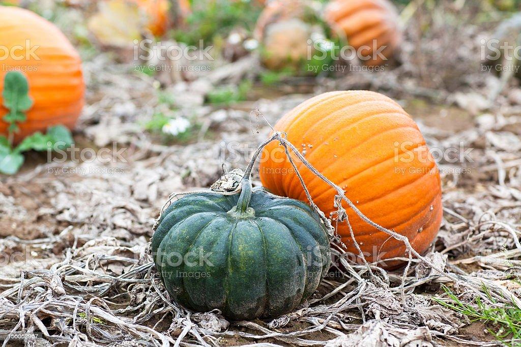 Pumpkin on field royalty-free stock photo