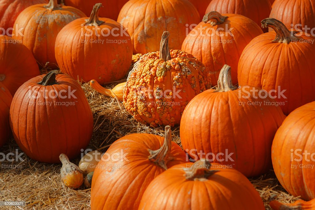Pumpkin Patch Background For Fall Autumn Halloween