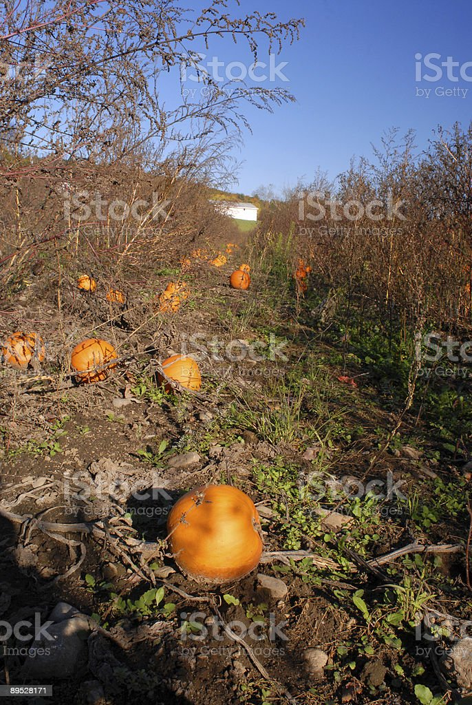 Pumpkin Patch in Autumn II royalty-free stock photo