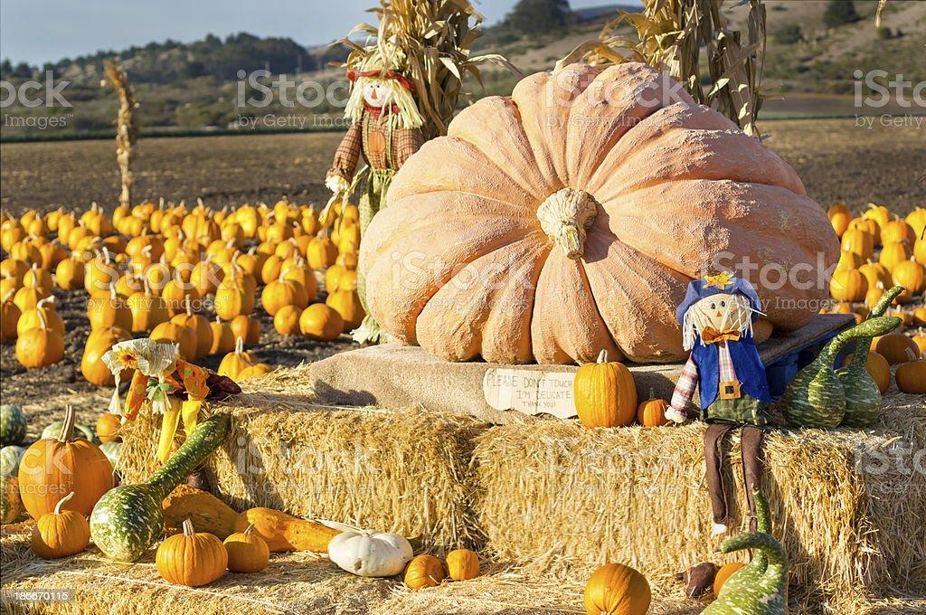 Pumpkin patch in California. stock photo