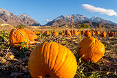 These are pumpkins in a patch.  They were picked in preparation for the upcoming Halloween holiday.  The farm for these pumpkins is near a snow capped mountain range in Utah.
