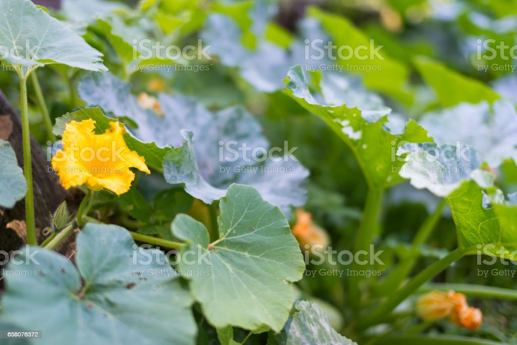 Pumpkin patch in the garden royalty-free stock photo