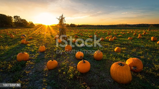 Wide angle image of pumpkins in a pumpkin patch at sundown