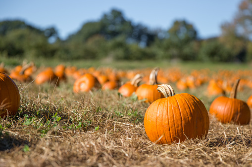 fresh orange pumpkins on a farm field. Rural landscape. Copy space for your text. Blurred background