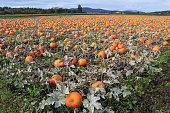 Field of pumpkins growing on a Vancouver Island farm.