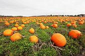 Ripe pumpkins at the farm.