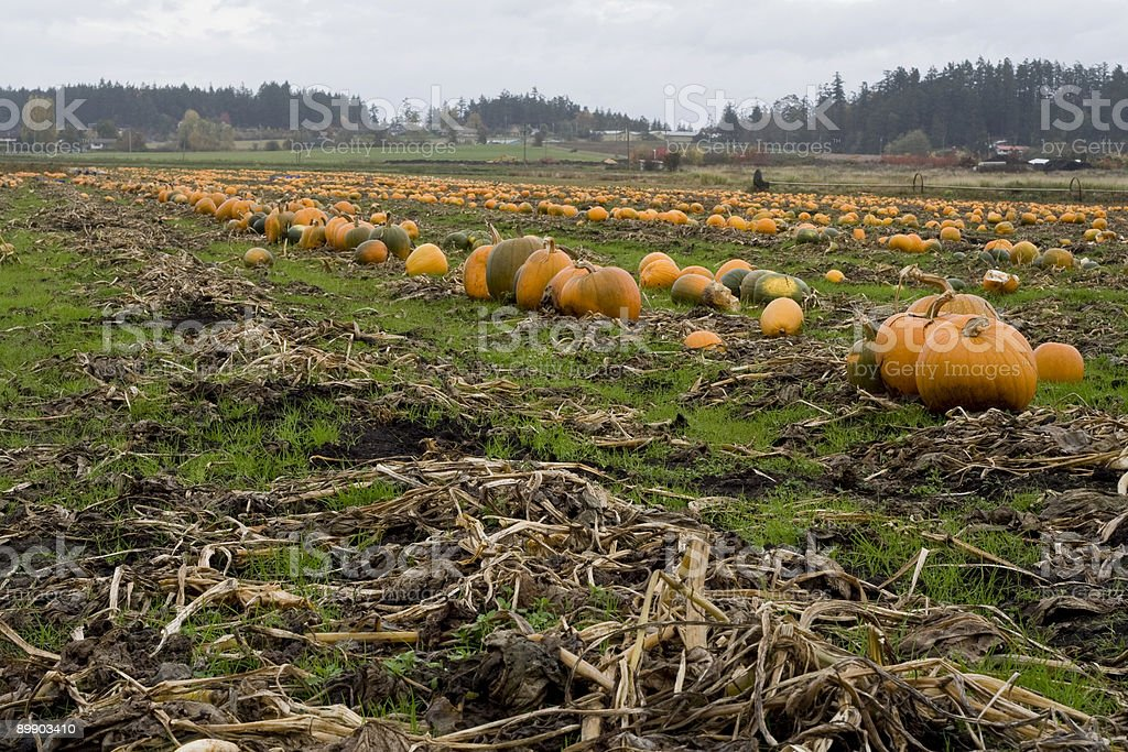 pumpkin patch royalty-free stock photo