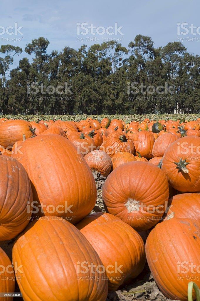Pumpkin Patch royalty-free stock photo