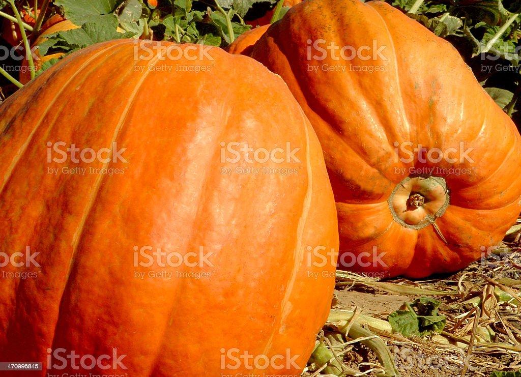 Pumpkin patch pumpkins royalty-free stock photo