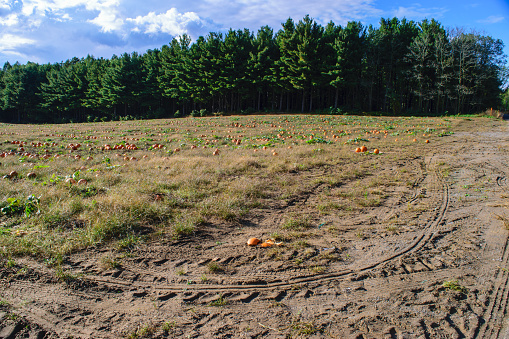 Pumpkin patch set below a row of evergreen trees with a blue sky above