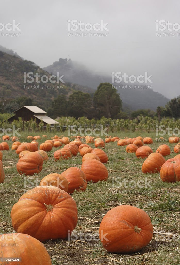 Pumpkin Patch vertical royalty-free stock photo