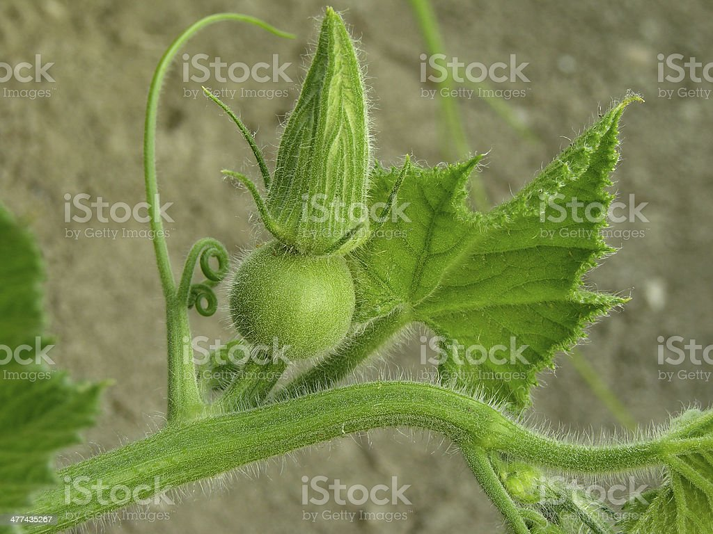 pumpkin plant fragment royalty-free stock photo