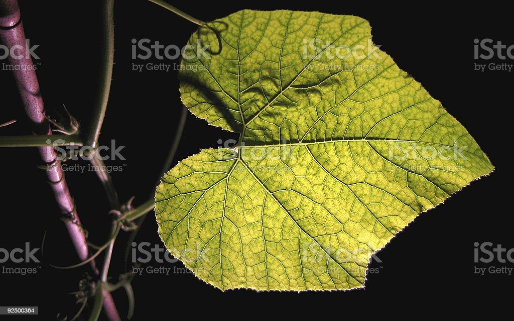 Pumpkin plant on black I royalty-free stock photo